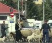 VIDEO Cioban de Pipera » Imagini fabuloase cu Gigi Becali pe străzi: și-a scos oile la plimbare și a blocat traficul