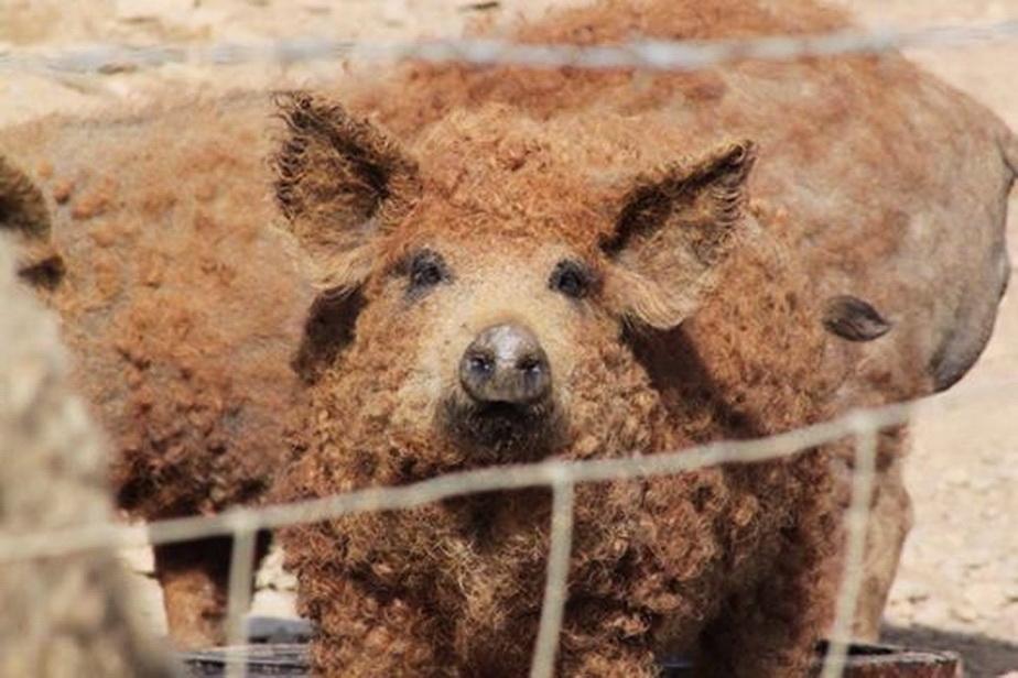 Nu ai mai văzut aşa ceva! Porcii cu lînă de oaie fac furori pe internet
