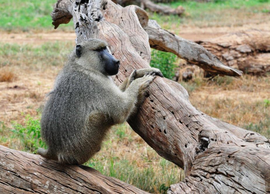 Un babuin a lăsat fără curent electric un oraş întreg