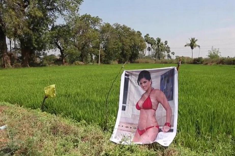 Culmea prostiei! Un fermier crede că un poster cu un star porno i-a amplificat cultura de varză