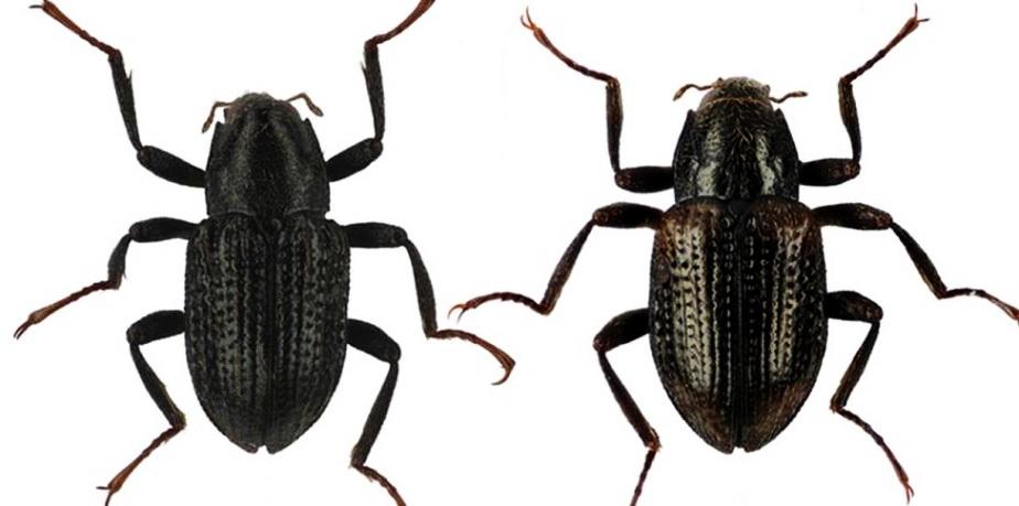 A fost descoperită o nouă specie de insectă: gândacul DiCaprio