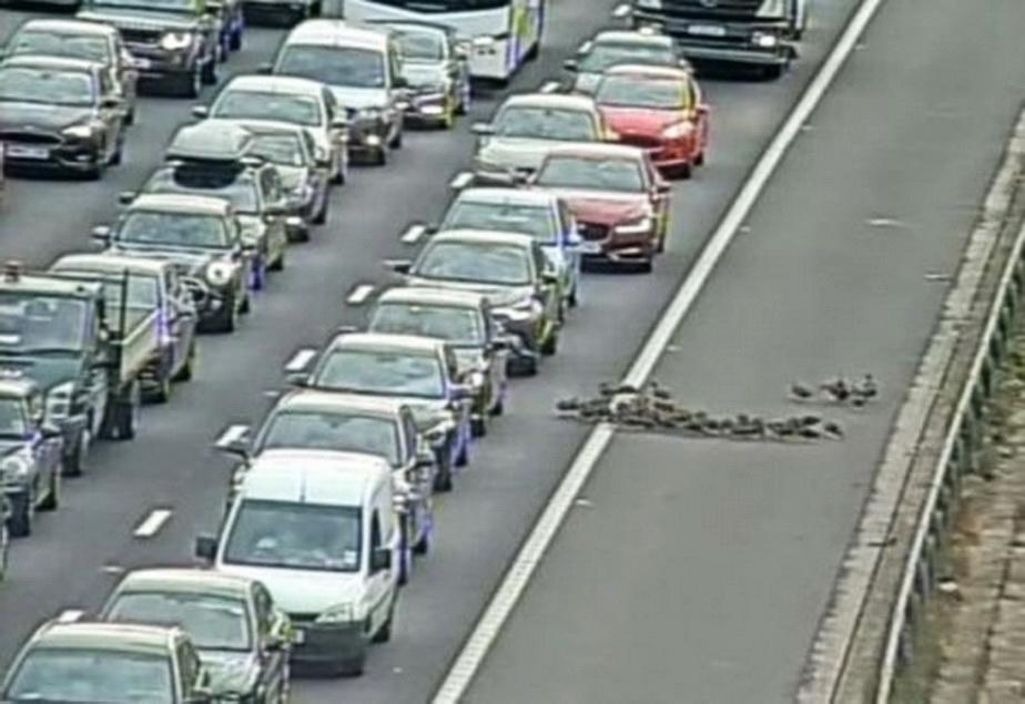 Un cârd de rațe a oprit traficul pe o autostradă foarte mare. Fotografia este genială!