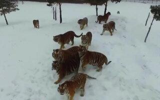 VIDEO » Imagini incredibile! Câţiva tigri au doborât o dronă exasperaţi că îi urmărea