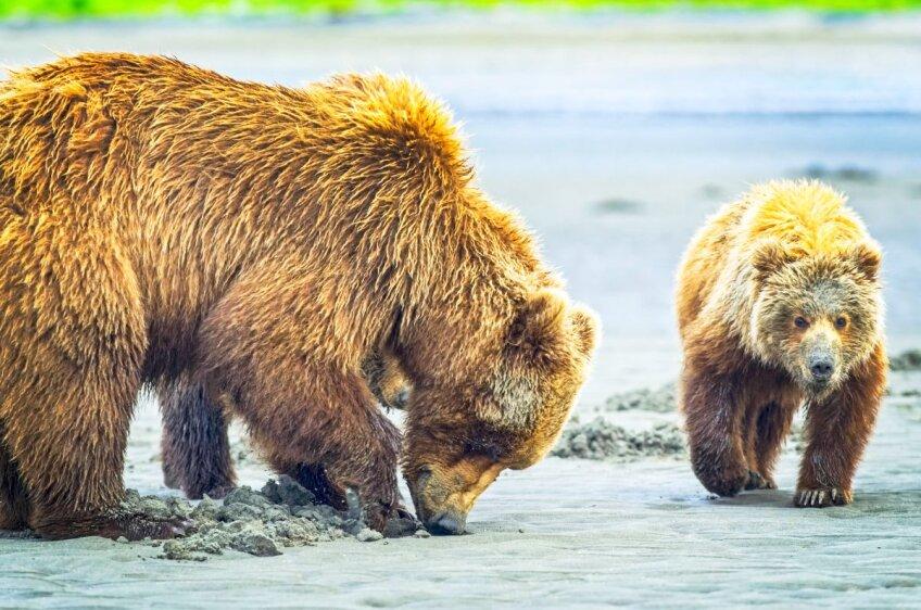 Vânătoarea de urși, foto: Imago