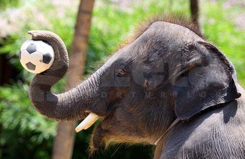 În Thailanda, elefanții știu mai mult fotbal decît oamenii
