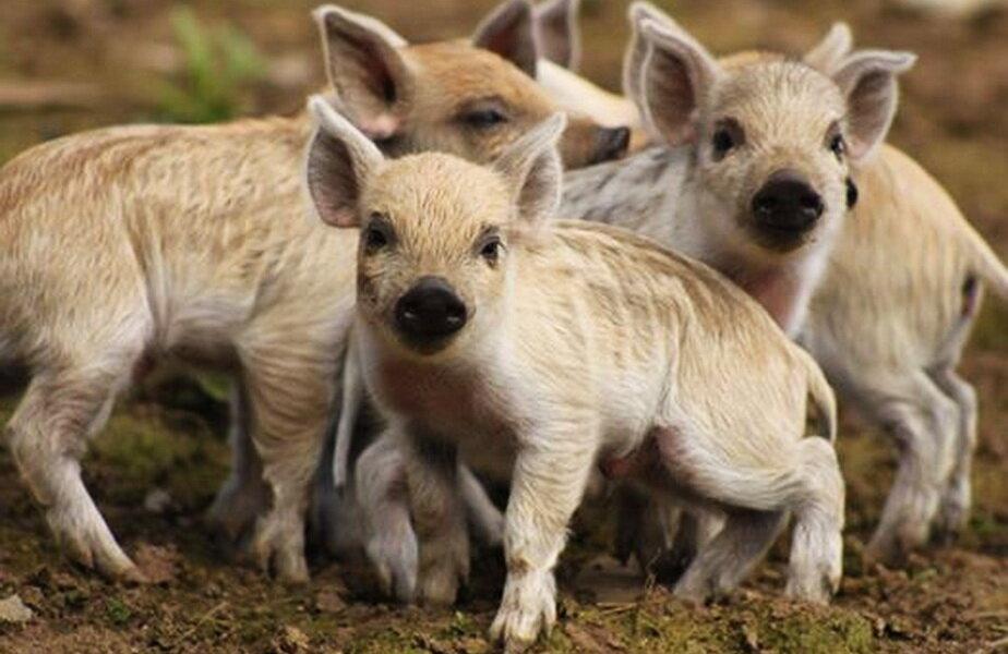 Porcii cu lînă de oaie fac furori pe internet ► Foto: thetelegraph.co.uk